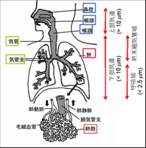 人の呼吸器と粒子の沈着領域(概念図)